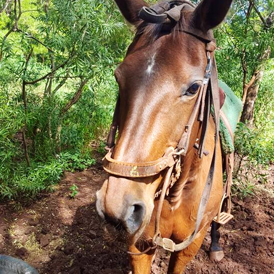 Hilo, a Happy Trails Hawaii horse