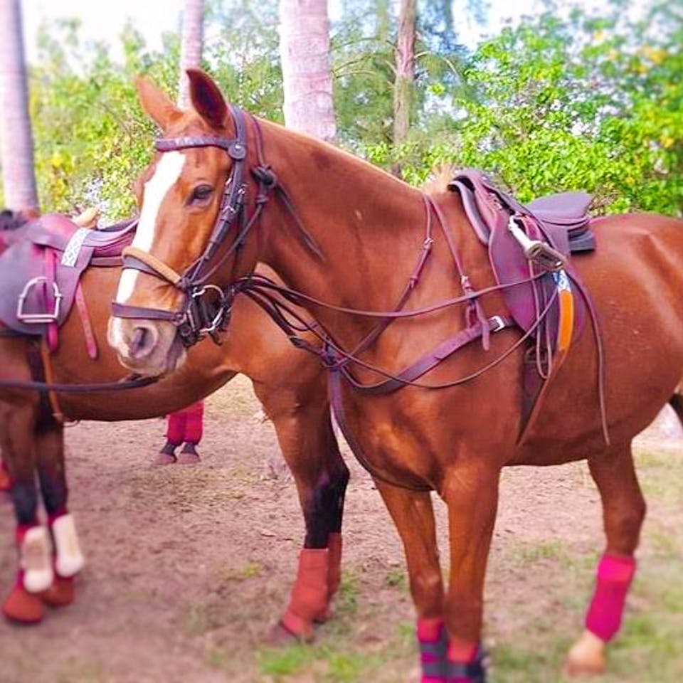 Sierra, a Happy Trails Hawaii polo horse