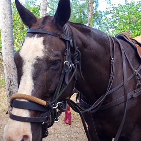 Banner, a Happy Trails Hawaii polo horse