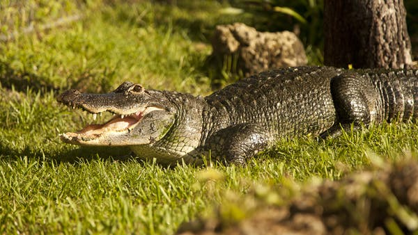 Gator in the grass Everglades