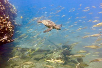 Discover scuba dive on Maui with a baby turtle swimming through fish.