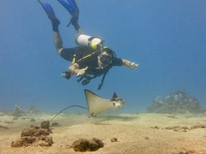 Maui scuba diver uses perfect buoyancy control near a stingray at Airport Beach.
