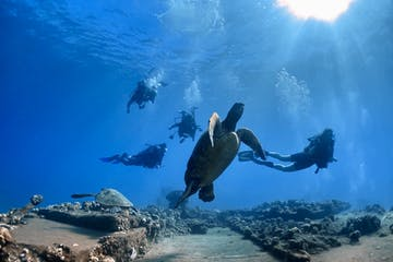 Scuba divers find turtles at Mala Wharf in Maui.