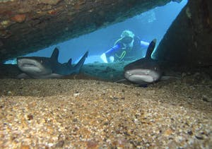 Maui shark diving at Mala Wharf.