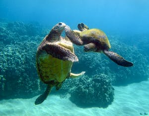 Maui turtles playing together at the Olowalu Mile Marker 14 scuba diving site.
