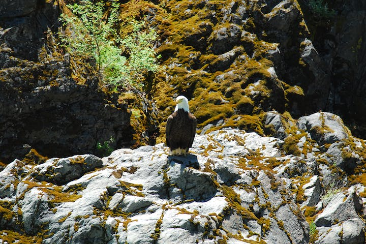 A bald eagle overlooks Pigeon Point Run