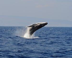 breach whale