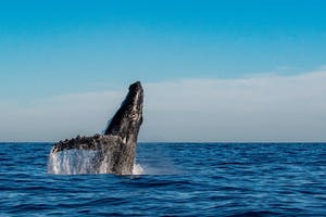 Tours watching humpback whales in Maui