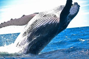Pacific humpback whale jumping out of the water on a tour in Maui