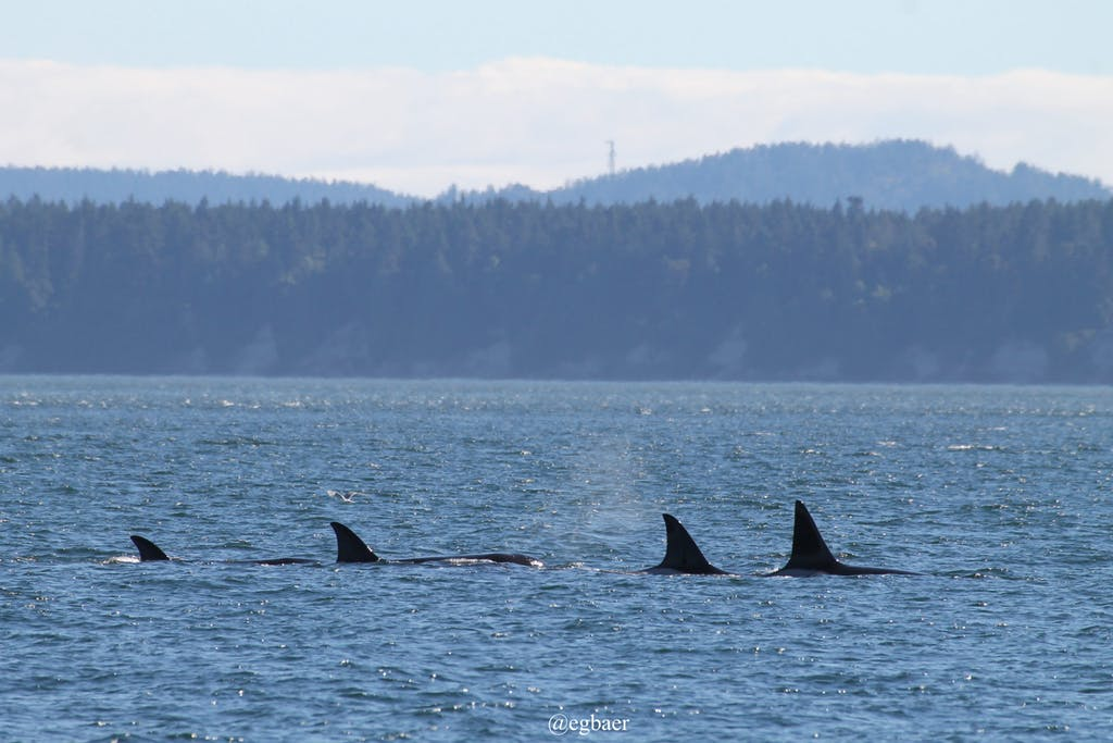 pod-of-orca-whales