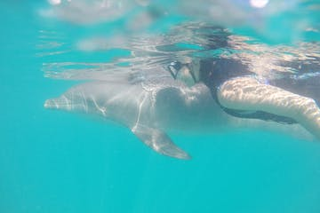person snorkeling with dolphin