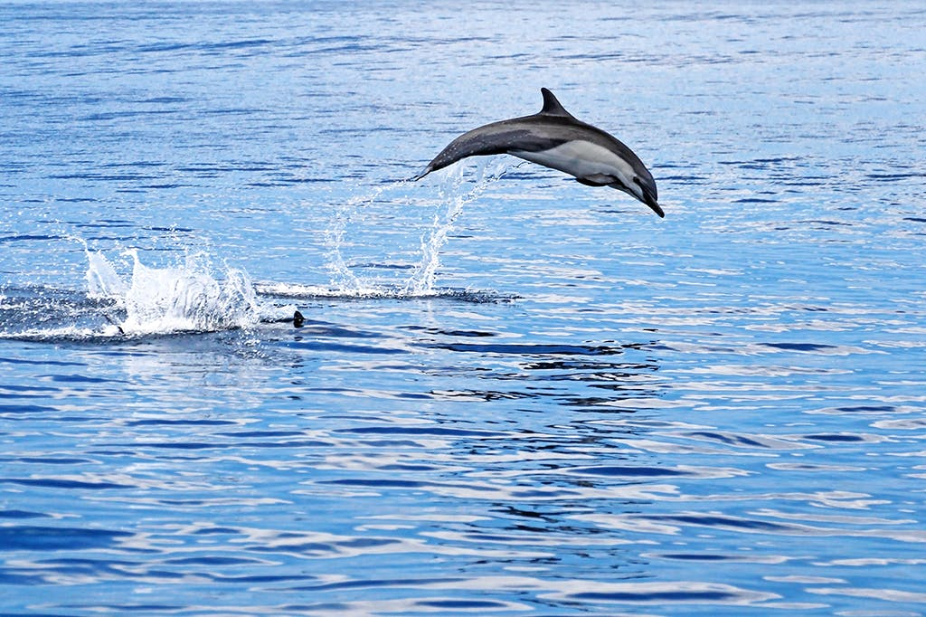 wild dolphin jumping