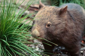 A wombat from the nocturnal tour