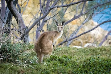 A kangaroo in the wild as seen on the tours