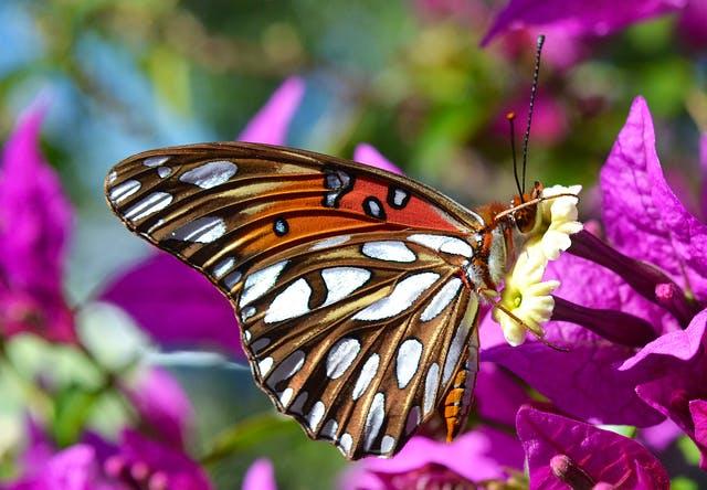 sdbw butterfly