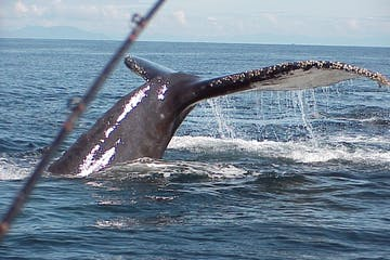 Gray Whale tail seen on a Ketchikan Charter Boat