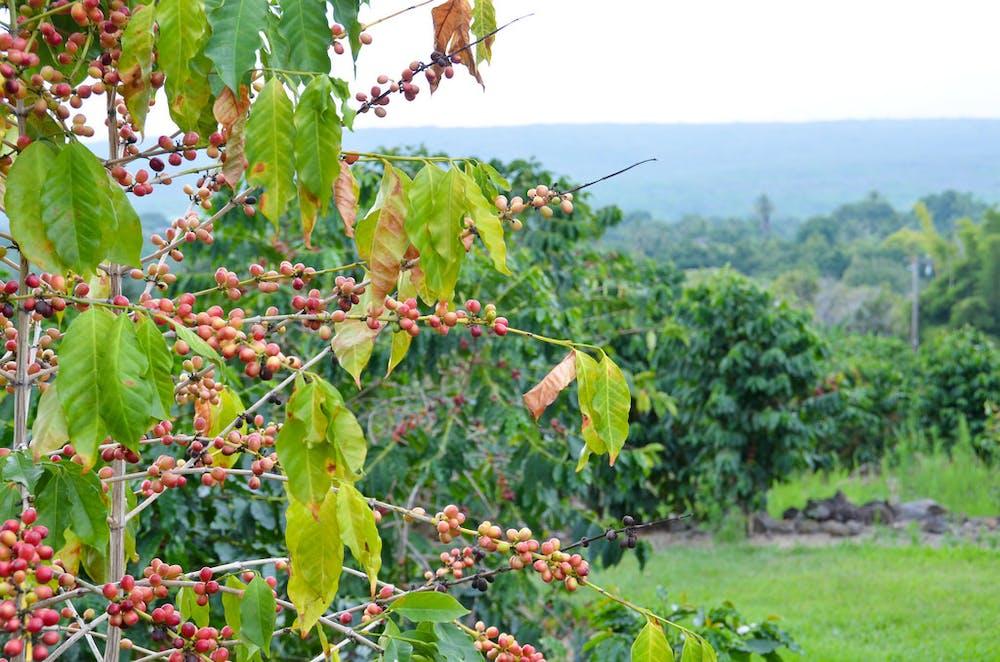 5 Best Kona Coffee Farms   Kailani Tours Hawaii Kona Coffee Farms Map on kona hawaii map, kona coffee living history farm, coffee belt map, kona coffee farm rustic, kona coffee region map, kona coast beach map, kona coffee farm hawaii, blackberry farm map, kona coffee tour map, kona waterfall map, kona big island scuba map,