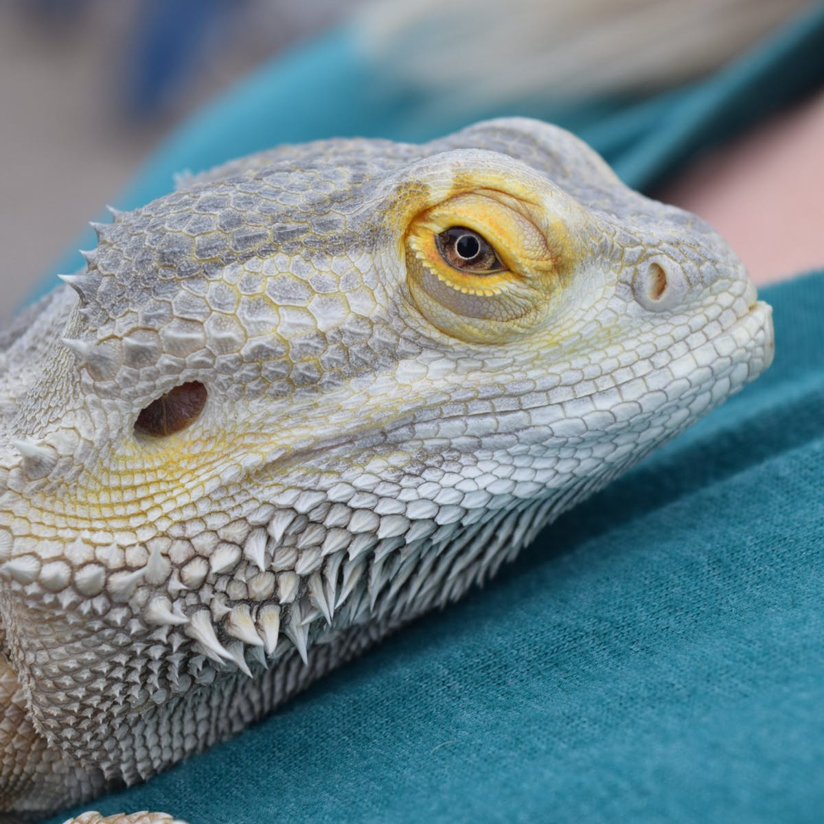a close up of a bearded dragon