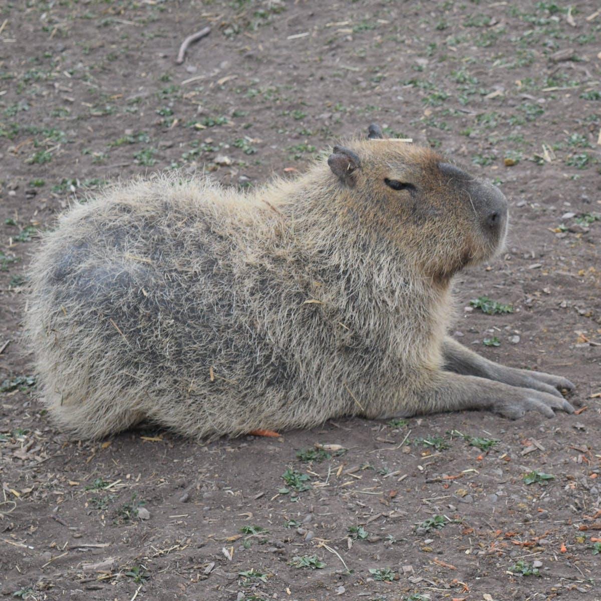 a capybara standing on a dirt field