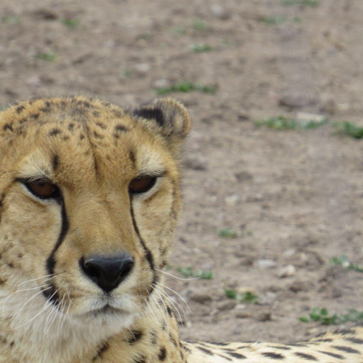 a cheetah sitting in a dirt field