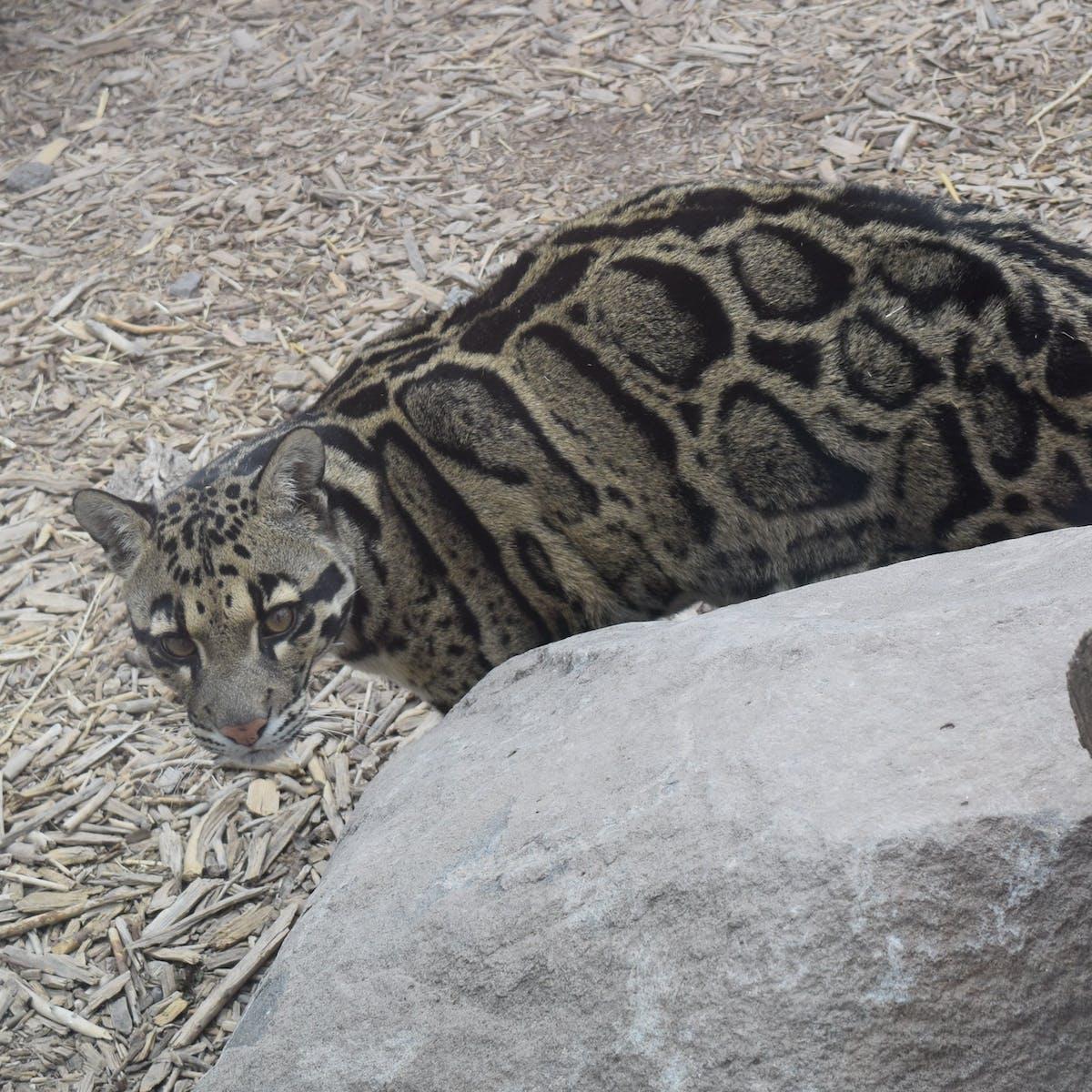 clouded leopard behind rock