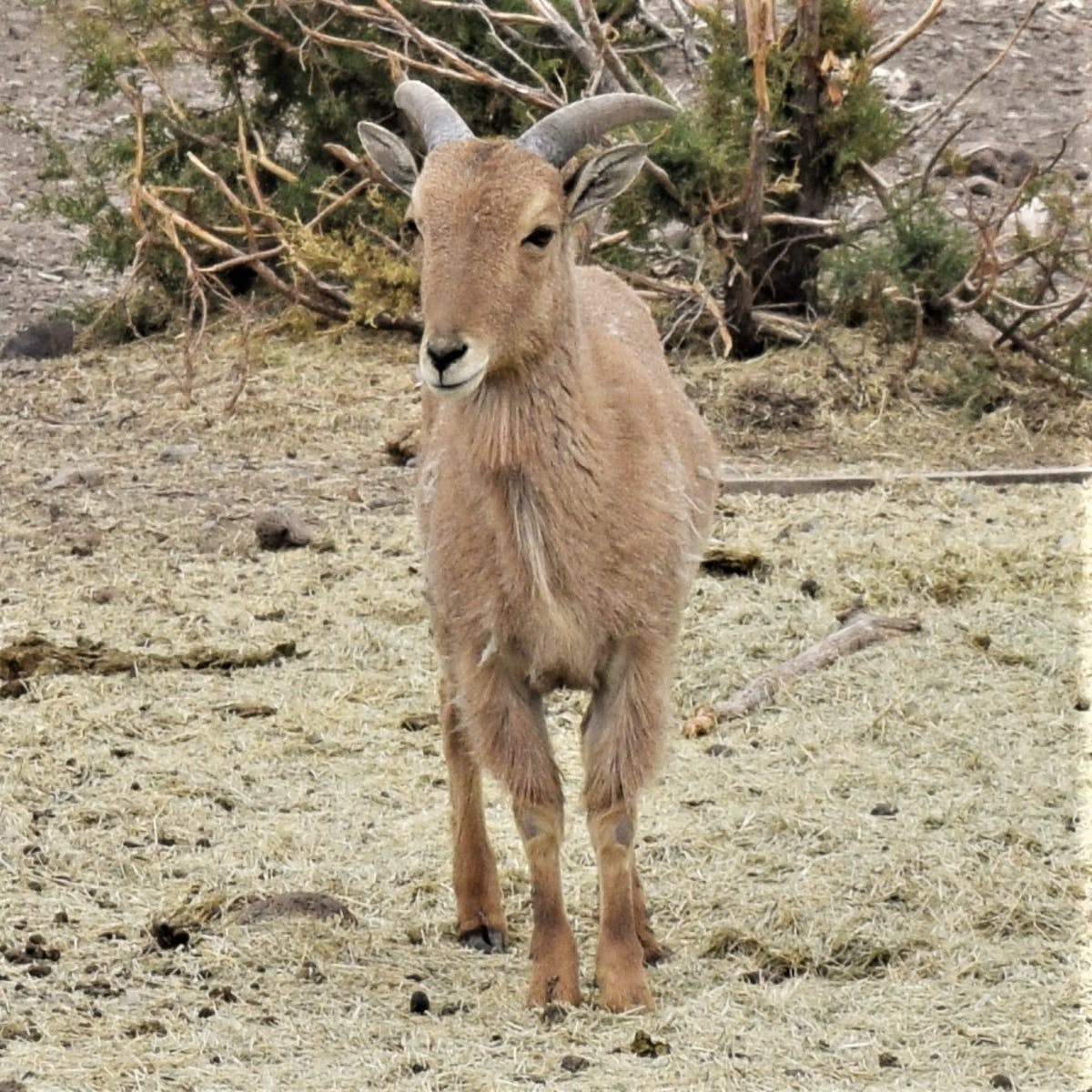 aoudad standing on top of a dirt field