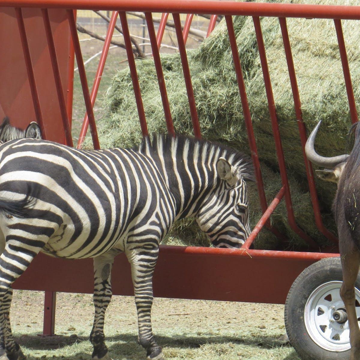 a zebra standing next to a fence