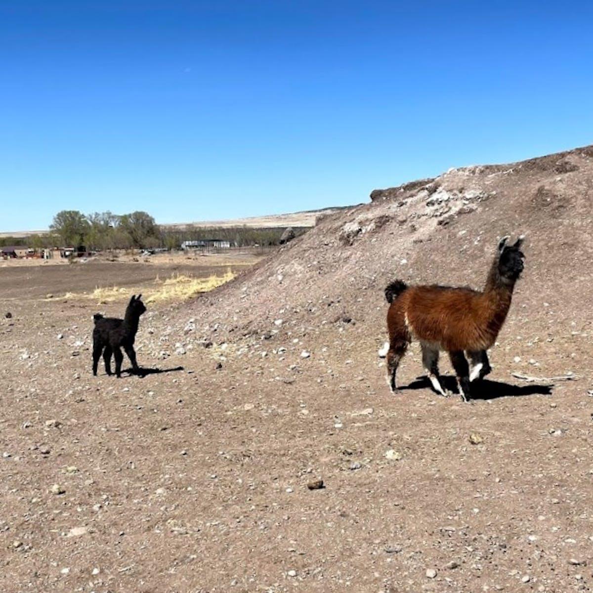 a herd of cattle walking across a dirt field