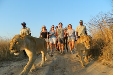 Walking-with-African-Lions