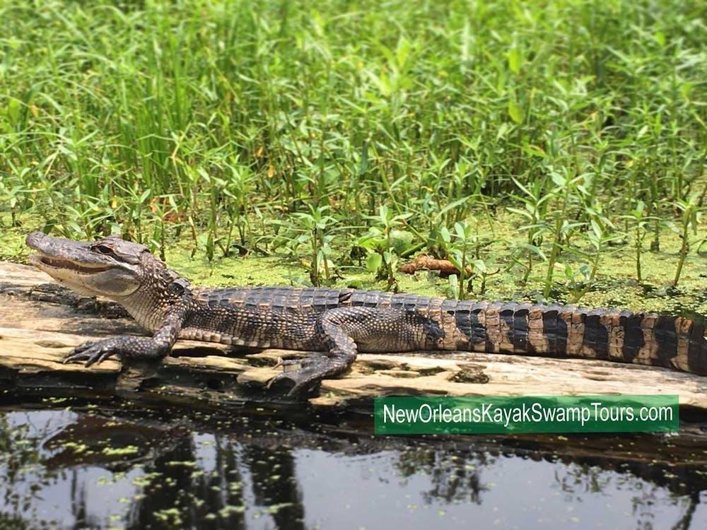 louisiana swamp tour