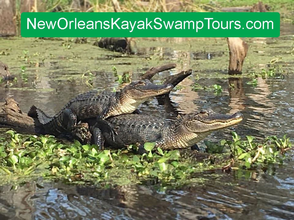 Swamp Tour New Orleans >> What Is The Best Eco Friendly Swamp Tour In New Orleans
