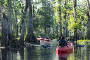 3 kayaks paddle through a cypress forest in manchac swamp