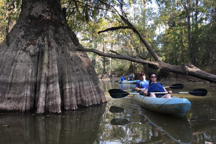 a large cypress tree with a couple kayaking next to it
