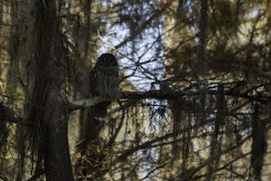 a barred owl sitting in a swamp tree in Maurepas swamp