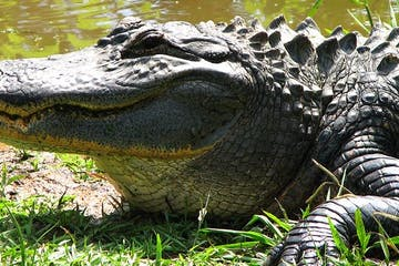 Alligator in Caddo Lake, Texas
