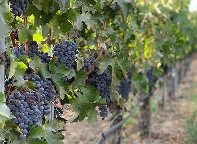 santa-barbara-wine-history-grapes