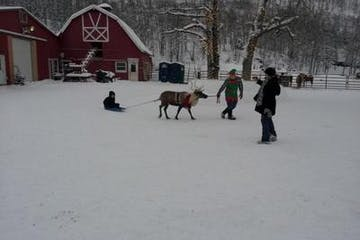 reindeer farm reindeer snow christmas sled