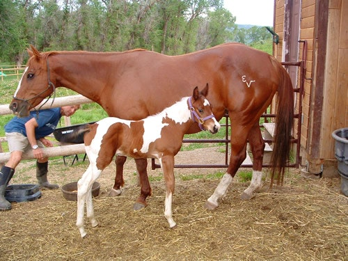 Young paint horse with mom.