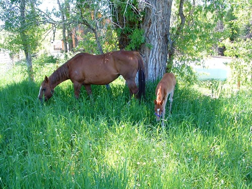 Mom and foal grazing in the grass.
