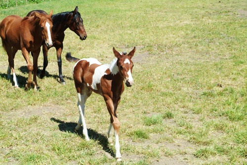 A foal ready to lead the herd.