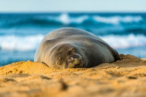 Monk-Seal-Sleeping