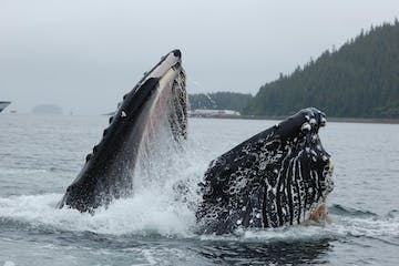 A humpback whale breach in Hoonah Alaska