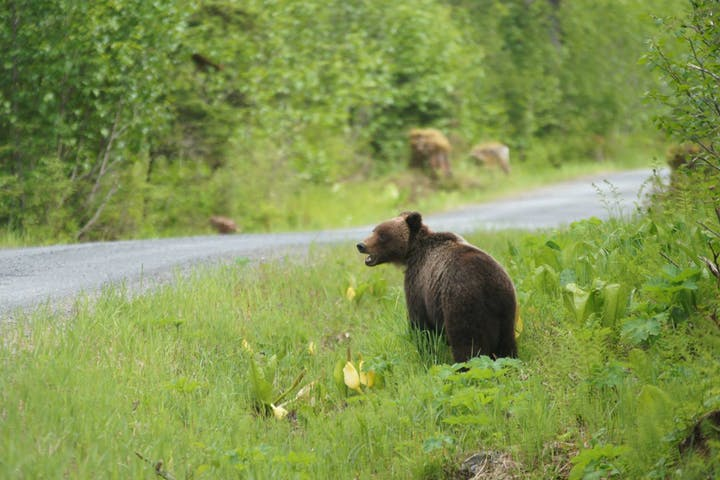 A brown bear explores the Hoonah wilderness