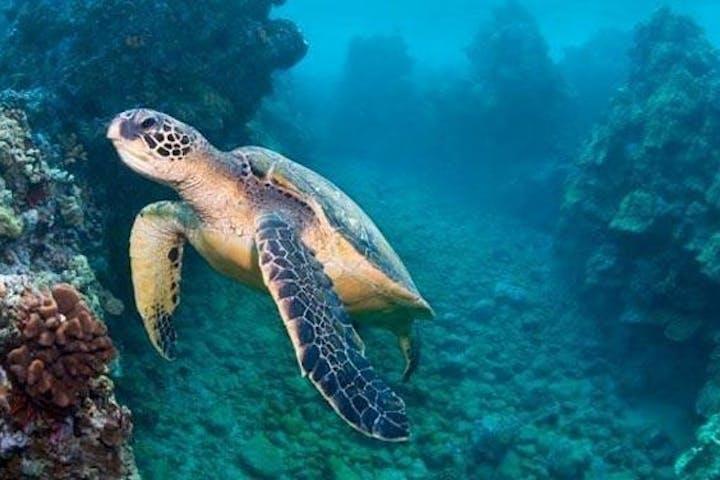 Sea turtle swimming in Hawaii