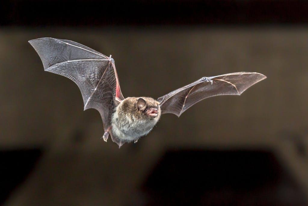 Flying bat GYAGUW17