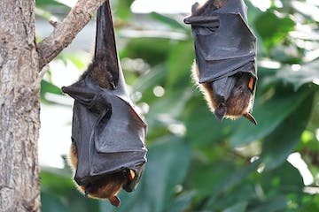 Two bats hanging from a tree