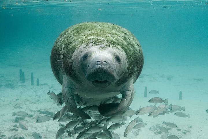 Manatee underwater facing head on