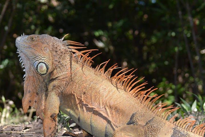palo verde iguana