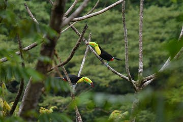 Two Toucan Bird on a branch tours