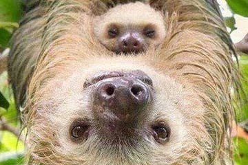 a sloth looking at the camera